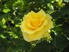 プロムナードの黄色い薔薇