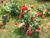 プロムナードの赤い薔薇